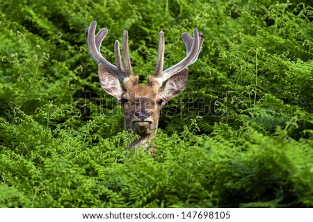 Male Red Deer Deep in Vivid Green Bracken/Red Deer in Bracken/Red Deer in Bracken - stock photo