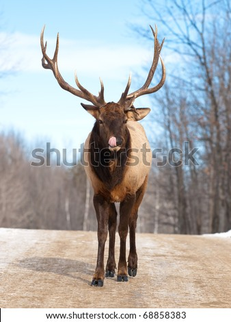 Male Red Deer in winter - stock photo