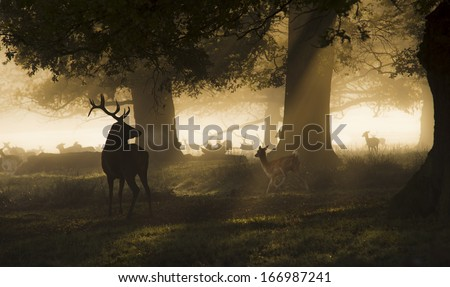 Male red deer looking a group of fallow deer running - stock photo