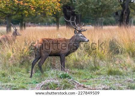 Male Red deer stag in the autumn Richmond park, London, UK