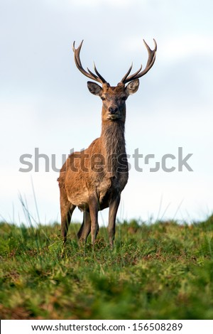 Male red deer standing proud on the crest of a rise/Red Deer/Male Red Deer - stock photo