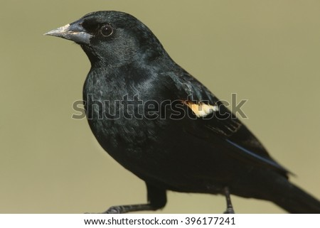 Male Red-winged Blackbird (Agelaius phoeniceus) on a perch with a green background - stock photo