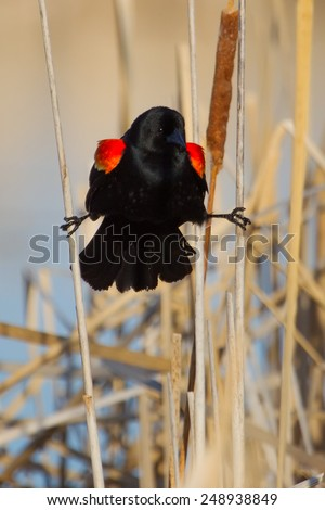 Male Red-winged Blackbird perched on cattails. - stock photo