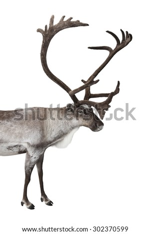 Male reindeer shot in studio isolated on white