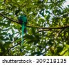 Male Resplendent quetzal (Pharomachrus mocinno) in a tree - stock photo
