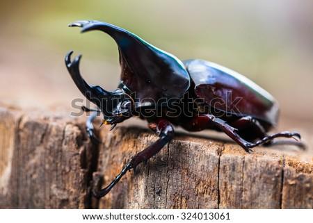 Male Rhinoceros beetle, Rhino beetle, Hercules beetle, Unicorn beetle, Horn beetle - stock photo