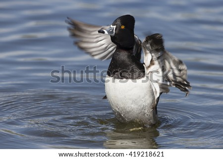 Male Ring-necked Duck - stock photo