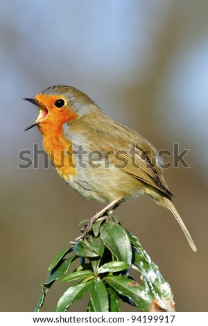 Male Robin Singing on top of tree. - stock photo