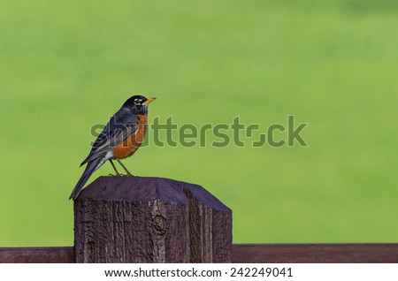 Male Robin Sitting on Old Fence Post with Copy Space - stock photo