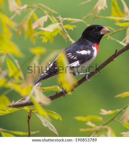 Male Rose-breasted Grosbeak (Pheucticus ludovicianus) in oak tree