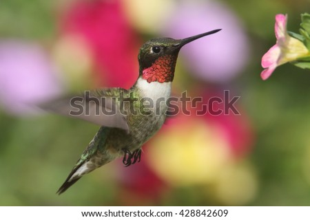 Male Ruby-throated Hummingbird (archilochus colubris) in flight at a flower with a colorful background - stock photo
