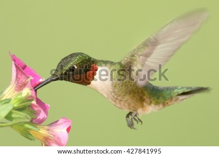 Male Ruby-throated Hummingbird (archilochus colubris) in flight at a flower with a green background - stock photo