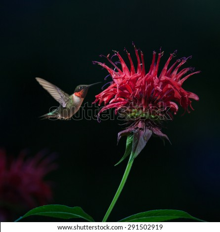 Male Ruby-throated Hummingbird (Archilochus colubris) on Bee Balm - stock photo