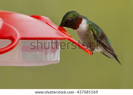 Male Ruby-throated Hummingbird drinking from a feeder.