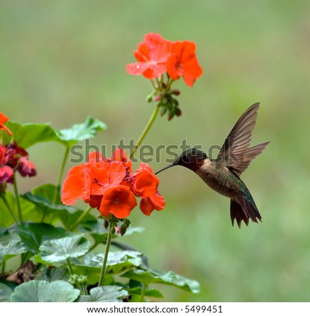 Male ruby-throated hummingbird feeding on a geranium flower - stock photo