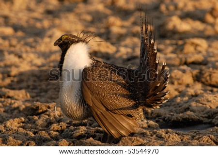 Male Sage Grouse in Lek during Mating Season