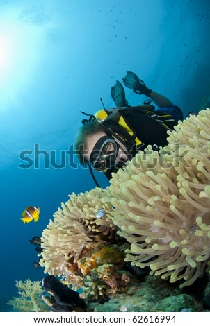 Male scuba diver observing a Magnificent anemone with clownfishes. Ras Ghozlani, Sharm el Sheikh, Red Sea, Egypt. - stock photo