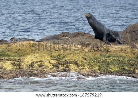 male sea lion seal while relaxing on rocks - stock photo