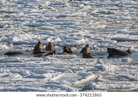 male sea lion with his females between the ice floes - stock photo
