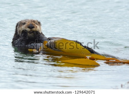 male sea otter is seen cleaning his fur with kelp on a cold rainy day in bug sur, california, usa - stock photo