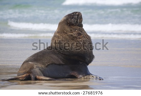 Male sealion posing at Cannibal beach New Zealand - stock photo