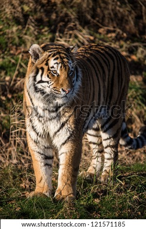 male siberian tiger standing in forest clearing/Tiger - stock photo