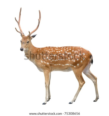 male sika deer isolated on white background - stock photo