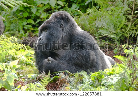 Male Silver Back Mountain Gorilla taking a time out.  Parc Nationales De Volcanoes, Rwanda. - stock photo
