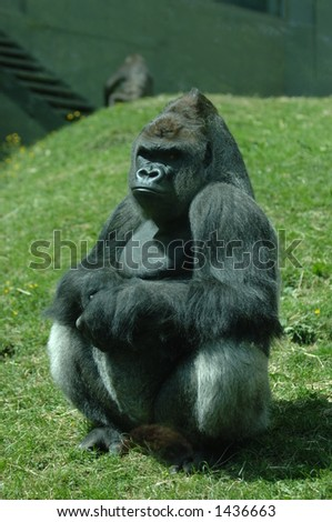 Male Silverback Gorilla enjoying the Sun - stock photo