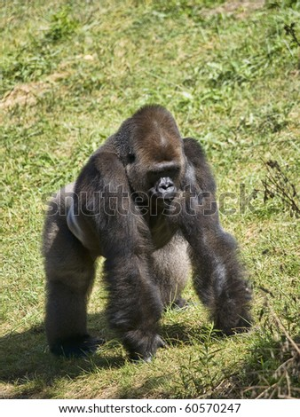Male Silverback Gorilla standing a symbol of power and strength
