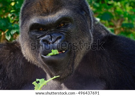Male Silverback Western Lowland gorilla eating lettuce close-up