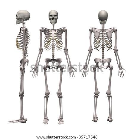 male skeleton - stock photo