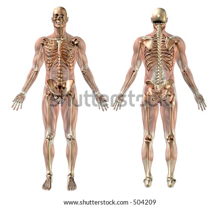 Male skeleton with Semi-transparent  Muscles - medically accurate 3D render. - stock photo