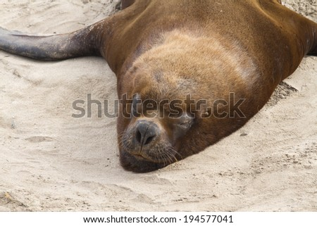 male South American sea lion resting on a sandy beach