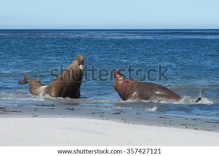 Male Southern Elephant Seals (Mirounga leonina) fighting during the breeding season on Sealion Island in the Falkland Islands. - stock photo