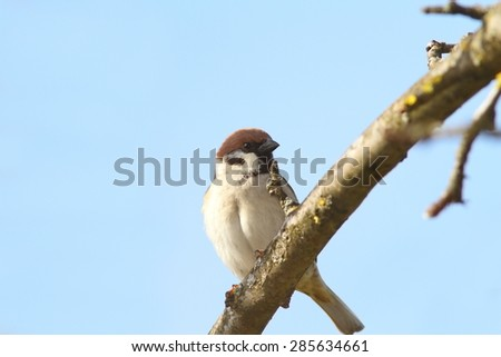 male sparrow close up perched on branch ( Passer domesticus )