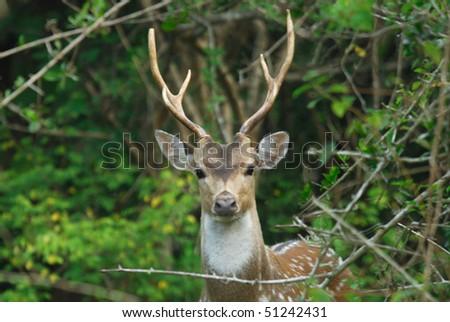 Male Spotted Deer (Chital) in Yala West National Park, Sri Lanka - stock photo