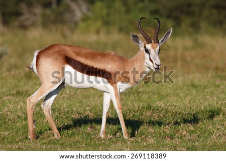 Male springbok antelope with white face and sharp curved horns - stock photo
