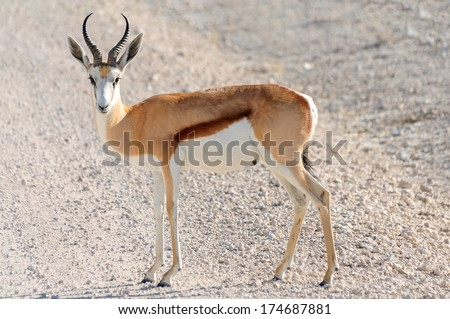 Male Springbok in Etosha National Park, Namibia - The springbok is a medium-sized brown and white gazelle of southwestern Africa. It is extremely fast and can reach speeds of 100 km/h (62 mph). - stock photo