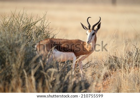 Male Springbok in the bush, Namibia, Africa - stock photo