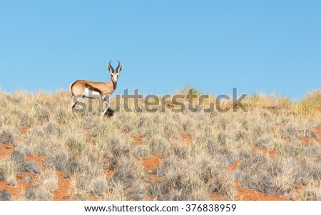 Male springbok walking in Namib Rand in Namibia - stock photo