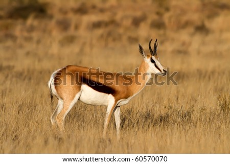 Male Springbuck standing on the African Grass Plains - stock photo