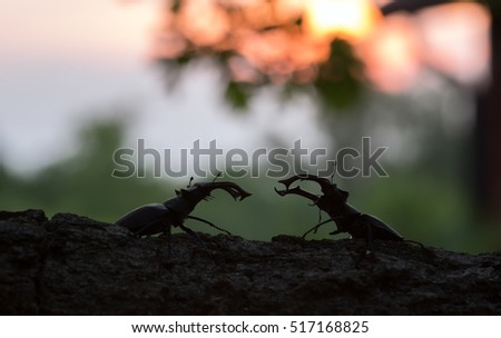 Male stag beetles, Lucanus cervus on wood