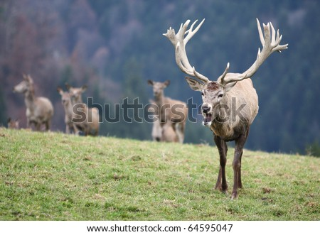 Male Stag Deer on a meadow - stock photo