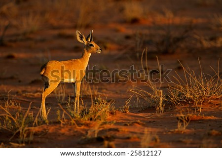 Male steenbok antelope (Raphicerus campestris) in late afternoon light, Kalahari desert, South Africa