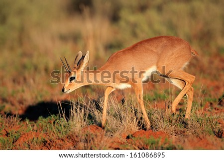 Male steenbok antelope (Raphicerus campestris), South Africa  - stock photo