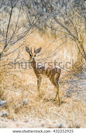 Male steenbok antelope (Raphicerus campestris) standing in african bush. Etosha National Park, Namibia, Africa.