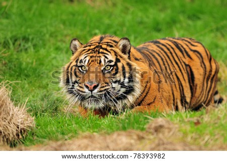 Male Sumatran tiger hiding in ambush while stalking its prey moments before the attack. - stock photo