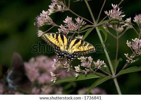 Male Swallowtail Butterfly, Springton Manor Park, Wallace Township, PA - stock photo