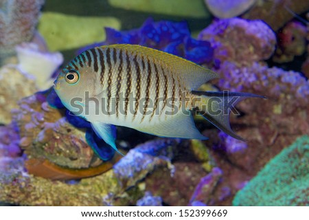Male Swallowtail or Blackspot Angelfish - Genicanthus melanospilos - a tropical marine fish - stock photo
